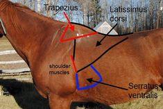 Serratus ventralis on the horse