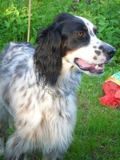 My dog, he's a luellen english setter, his name is sammy :)