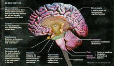 Brain Diagram Amygdala - Health, Medicine and Anatomy Reference Pictures