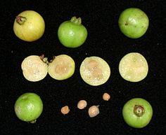 Guabiroba-araçá (Campomanesia aurea)