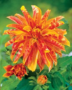 Giraffe Dahlia - Love the orange color, and the unusual petal shape.