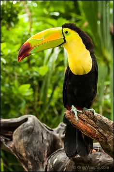 Parrot - Toucan at Xel-Ha nature park, Riviera Maya, Mexico.