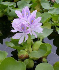 PLANTAS AQUÁTICAS…PARTE II…!!!-- Nome Popular: Aguapé / Nome Científico: Eichhornia crassipes