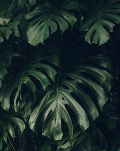 We love a monstera Plant Aesthetic, Nature Aesthetic, Indoor Tropical Plants, Plant Wallpaper, Plant Background, Plants Are Friends, Green Plants, Planting Flowers, Plant Leaves
