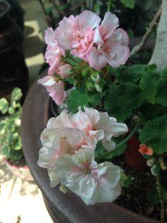Pelargonium AnnaSan & Always
