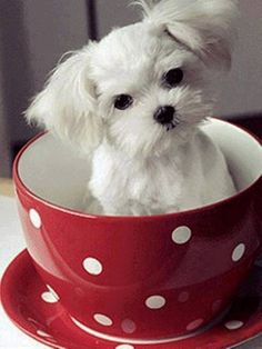 Puppy in a tea cup ✿⊱╮