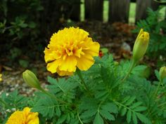 Büdöske csatasorban, célpont a fonálféreg Marigold Flower, Farm Gardens, Good To Know, Gardening, Sad, Tips, Flowers, Plant, Lawn And Garden