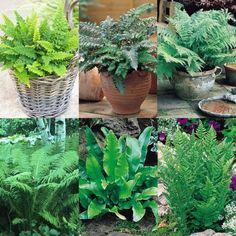 Hardy fern colelction