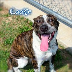 Meet Cookie! She is an approximately 10-month old, brindled Heeler-mix, weighing approximately 45-pounds. She is pretty, smart, playful and very friendly. Cookie gets along with most other dogs. She is fully-vetted, HW-, microchipped and up-to-date on shots. She would need to continue obedience training in order to direct her energy level and to assess her behavior with other dogs. She has not been cat tested. Cookie is as sweet as her name suggests.  DFW Area email: rescuemedallas@gmail.com