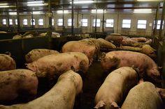 Tavallisessa sianlihan tuotannossa sioilla ei yleensä ole mahdollisuutta ulkoiluun.