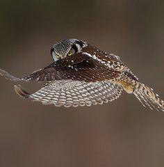 Northern hawk 0wl • photo: Axel Hildebrandt on 500px