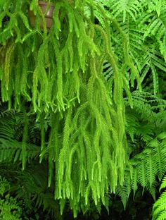 Tassel Fern, Lycopodium, is NOT a fern. Shade Plants, Air Plants, Garden Plants, Indoor Plants, House Plants, Potted Plants, Tropical Garden, Tropical Plants, Tassel Fern