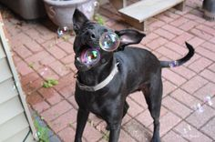 Bubble Catching with Bear, the lab mix on November 24, 2015