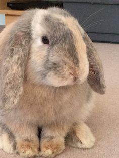 Jemima. Harlequin lop ear rabbit