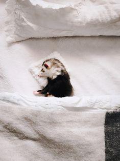 Cute ferret.