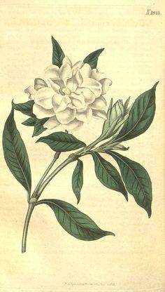 8828 Gardenia jasminoides J.Ellis [as Gardenia radicans Thunb.] / Curtis's Botanical Magazine, vol. 43: t. 1842 (1816) [n.a.]