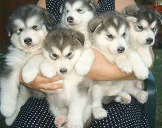 Alaskan Malamute Puppies For Sale - Pets R Kings - Pets, Dogs ...