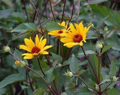 Heliopsis 'Summer Nights' www.plantmorenatives.com