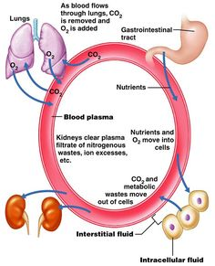 Renal physiology: acid-base balance The normal pH of extracellular fluid (ECF) is The Henderson-Hasselbalch equatio. Renal Physiology, Human Anatomy And Physiology, Acid Base Balance, Acidosis And Alkalosis, Med Surg Nursing, Nursing Board, Student Info, Rn Nurse