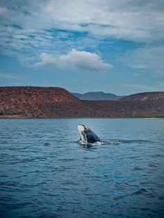 Awesome! An Orca playing in #Baja #Mexico ... the most beautiful things in #life are free :)