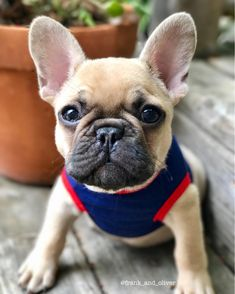Oliver, the French Bulldog Puppy