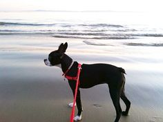 My Boston Terrier's second birthday,  took Figgy to her first beach (More Mesa in Santa Barbara). Figgy loved running along, sniffing everything and was very impressed by The Ocean.