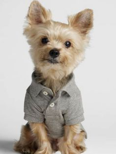 Facts On The Yorkshire Terrier Dogs Size Yorkie Puppy, Husky Puppy, Yorkshire Macho, I Love Dogs, Cute Dogs, Toy Yorkshire Terrier, Yorkie Clothes, Puppy Drawing, Toy Puppies