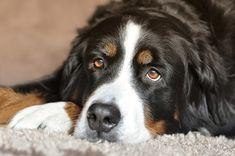 The Hidden Dangers Of Salmon Oil For Dogs – iHeartDogs.com