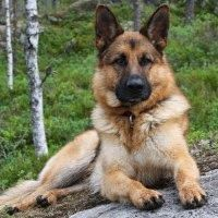 German Shepherd Video Shows Why The Breed Is So Special http://www.somepuppytolove.com/2014/05/german-shepherd-video-shows-why-breed.html?spref=tw #dogs #germanshepherds