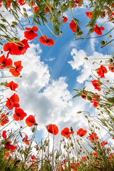 View of the sky through a field of poppies.