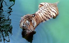 A Royal Bengal tiger cools down by taking a bath in a pond at Dhaka's National zoo, 12 April 1998