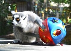 For Lemur; enrichment - miracle ball at Toledo Zoo
