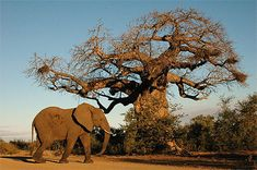 African Animals, African Art, West Africa, Out Of Africa, South Africa, Parc National Kruger, African Forest Elephant, Africa Tattoos, Weird Trees