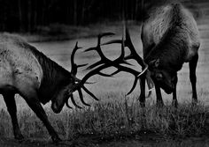 Sparring Bulls by Robert Ron Grove 2 Elk in Canmore Alberta, taken from my car; can't get too close to these guys , telephoto lens is needed .