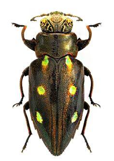 Chrysobothris aruensis