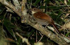 Cisqueiro (Clibanornis dendrocolaptoides)