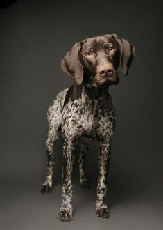 German Shorthaired Pointer- I love pointers! They are vastly underrepresented on the board. #germanshorthairedpointer