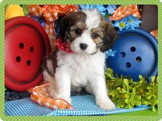 www.cavachonsbydesign.com Cavachon puppies for sale, Cavachon, Cavachons, Cavachon dog, Cavachon pups, Cavachon pup, Cavachons dogs for sale, Cavachon puppies, Cavachons for sale, Cavachon breeder, Cavachon breeders, Bichon, Cavachon Puppies, Cute Puppies, Dogs For Sale, Puppy Love, Angels, Pets, Beautiful, Design, Angel