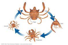 7 Drawings of examples of anomuran megalopal diversity ... |Crab Life Cycle Diagram