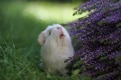 Bask In The Glory That Is Booboo The Guinea Pig