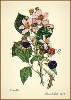 Blackberry antique botanical print reproduction. Tattoo idea.