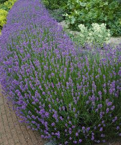 Add beauty and fragrance to the flower beds with the addition of these elegant lavender plants that are especially noted for their compact size and exceptional heartiness. Their attractive, calming scent will bring butterflies to the backyard from late spring through summer.  Includes three bare root plantsGrows to approx. 24'' W x 17'' H