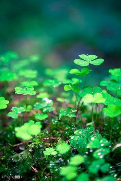 After the Rain - clover in the Carpathian Forest, Ukraine