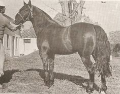 "Chilean Horse Purebred Clementina ""VENCEDOR"" Race Horses, Horse Racing, Sports Jumpers, Horse Caballo, Horse Armor, Vintage Horse, Conquistador, Arabian Horses, Horse Photography"