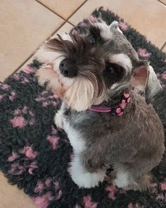 Is it Christmas yet mum? Mini Schnauzer Puppies, Standard Schnauzer, Miniature Schnauzer, Schnauzers, Animals And Pets, Cute Animals, Dog Pin, Cute Dogs, Dogs And Puppies