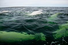 snorkeling with belugas in churchill river, manitoba - the polar bear capital of the world Wildlife Nature, Nature Animals, Lovely Creatures, Snorkelling, Outdoor Adventures, Whales, Churchill, Polar Bear, Arctic