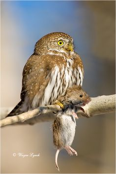 Northern Pygmy Owl. He is only 6 inches high. (note the picture for his size next to the mouse) His range is North America and he lives to be around 28 years.