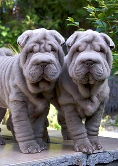 "sharpei  ** it makes me sad to see what people have done to make ""cute"" breeds with inbred illnesses and discomfort.  We go too far."