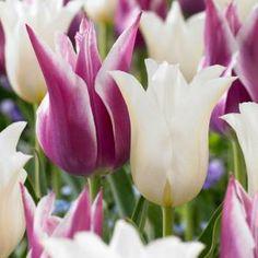 Martha Stewart Living Tulip Claudia/Sapporo Bulbs (48-Pack)-70375 at The Home Depot
