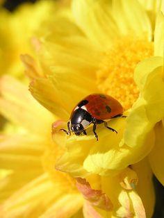 lady bug Macro by klaus fiedler, via Flickr